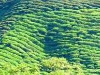Cameron Highlands Malaysia (183)