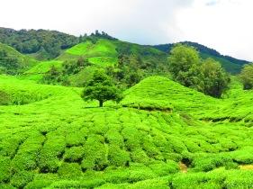 Cameron Highlands Malaysia (272)